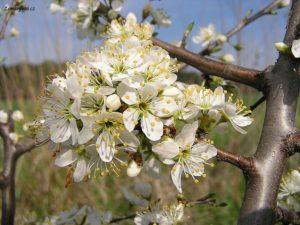 Trnka květ